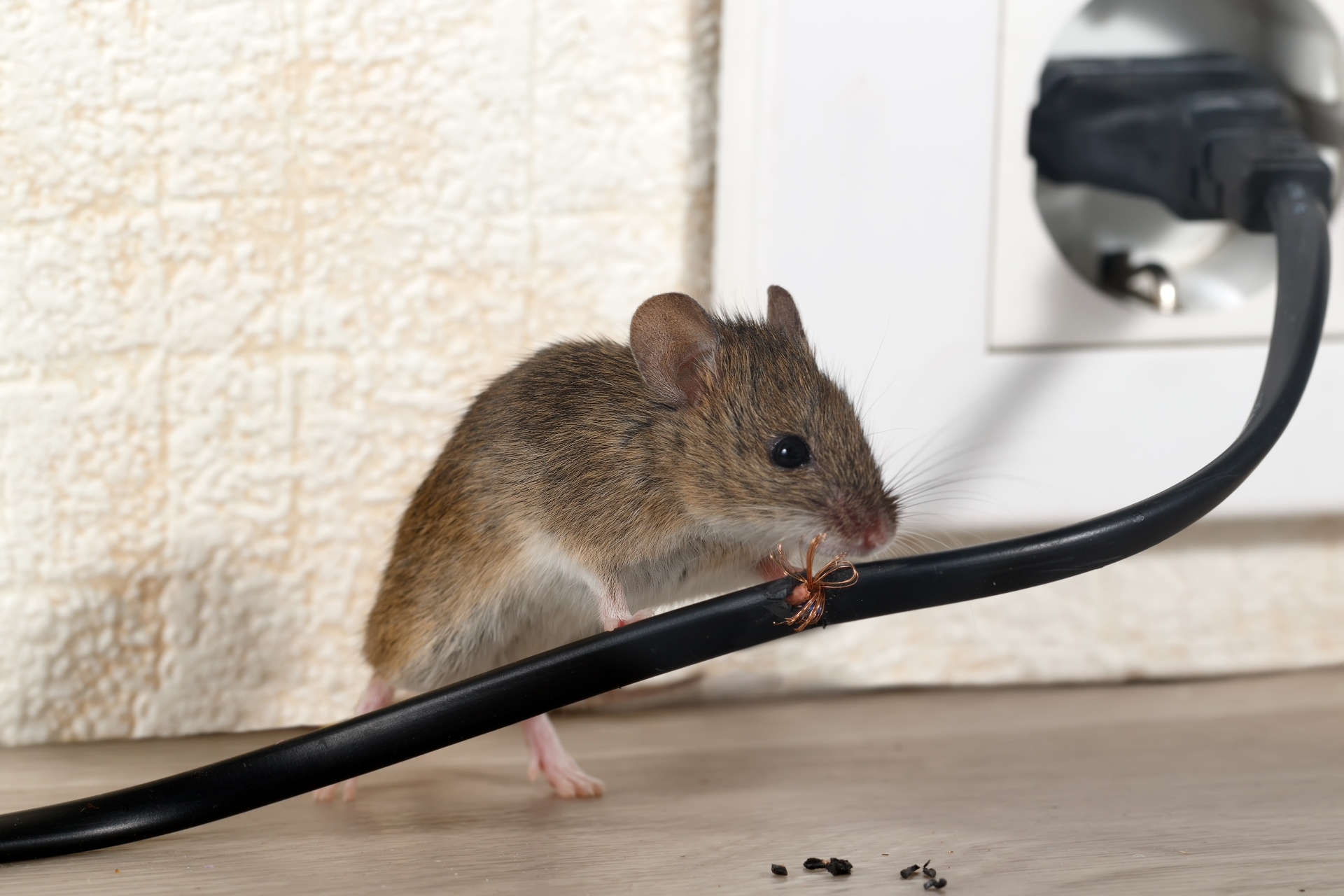 Mice Infestation, Pest Control in Brixton, SW2. Call Now 020 8166 9746