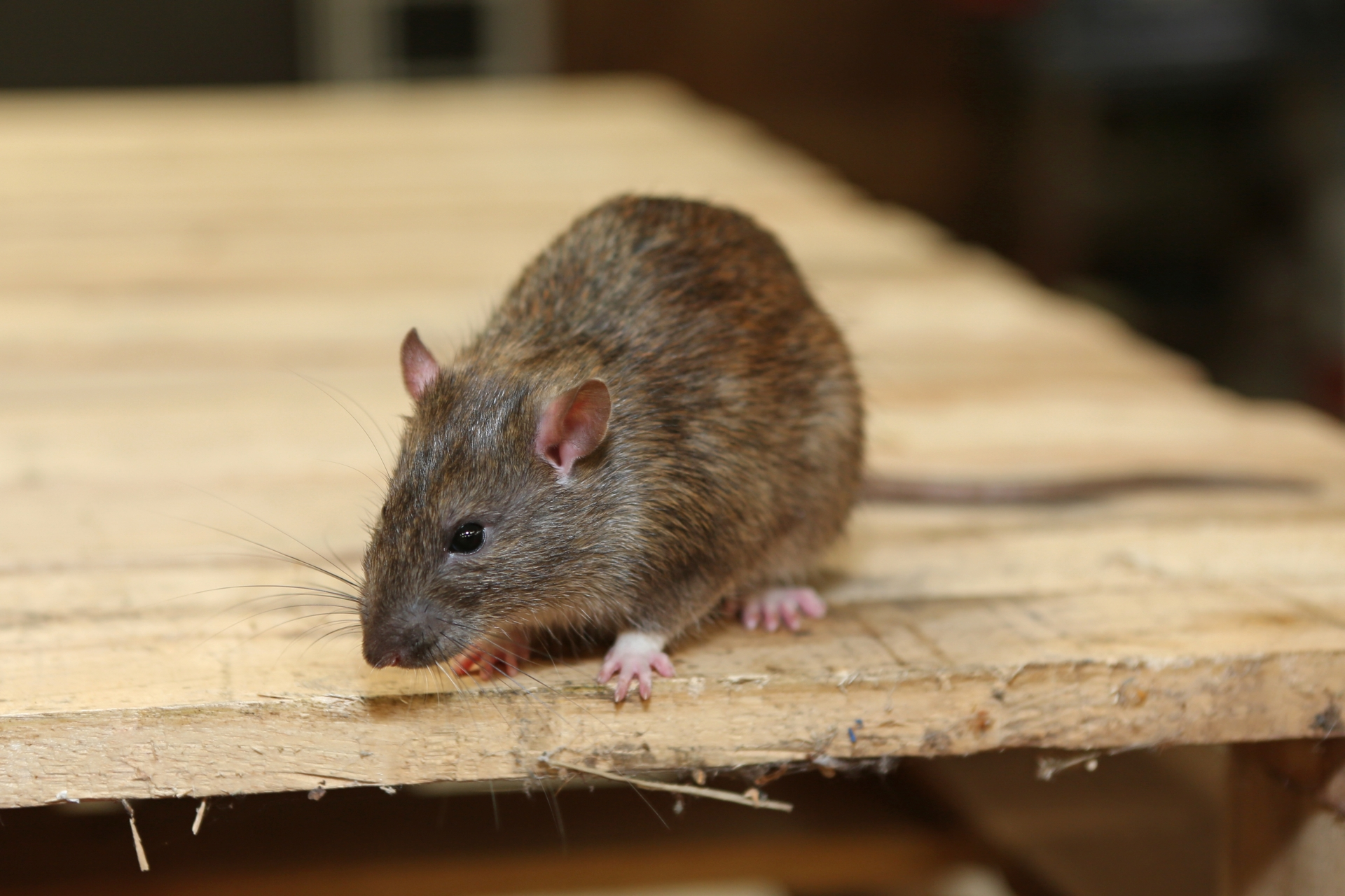 Rat Control, Pest Control in Brixton, SW2. Call Now 020 8166 9746