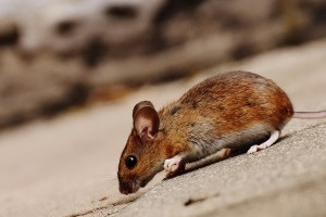 Mouse extermination, Pest Control in Brixton, SW2. Call Now 020 8166 9746