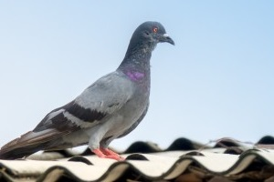 Pigeon Pest, Pest Control in Brixton, SW2. Call Now 020 8166 9746